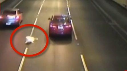 Il cane salta in autostrada dal finestrino: terrore in autostrada per la sua sorte