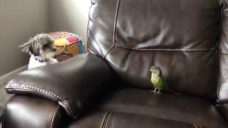 La divertente lotta per il divano: cane e pappagallo si sfidano, l'epilogo è esilarante