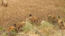 """Il leone viene aggredito da un branco di iene: la scena come ne """"Il re leone"""""""