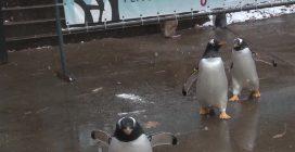Nevica: l'immensa gioia dei pinguini