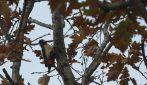 Uccelli italiani, l'emozionante incontro con una bellissima femmina di picchio rosso maggiore