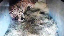 Il ghepardo è incinta di 7 cuccioli: le emozionanti immagini