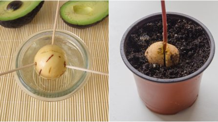 How to grow an avocado tree from a seed at home!