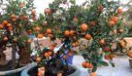 Come coltivare i mandarini cinesi in casa: la tecnica semplice