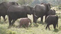 """Un dolcissimo elefantino """"rosa"""": il raro esemplare avvistato insieme al branco"""