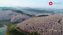 La fioritura dei ciliegi: il video del drone è spettacolare