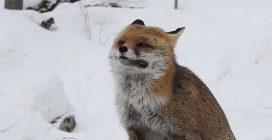 La bellissima volpe inizia a rotolare nella neve: il motivo è ben preciso