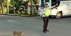 Il vigile ferma il traffico per far attraversare la strada al gatto