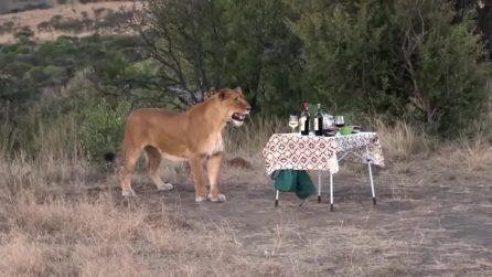 Turisti fanno il picnic ma poi scappano: arrivano i leoni