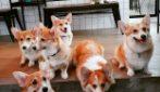 """Bangkok, Thailandia: Corgi in the garden è il pet café """"gestito"""" da dolci cagnolini"""