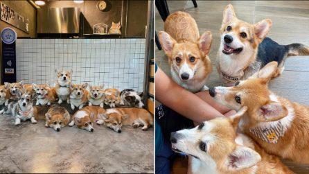 Corgi cafe: a dog lover's dream!