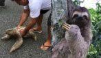 Sta per essere investito ma gli salvano la vita: il bradipo dimostra la sua riconoscenza