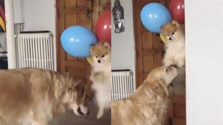 Lega i palloncini al cucciolo e fa uno scherzo esilarante al cane più grande