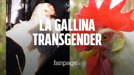 """A Milano una gallina diventa gallo, il proprietario: """"Le è cresciuta la cresta e non fa più uova"""""""
