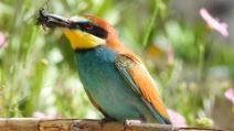 I coloratissimi gruccioni sono tornati in Italia: le splendide immagini di una colonia