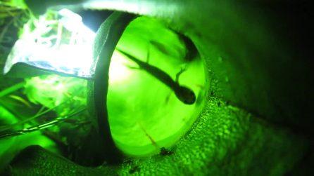 Pianta carnivora uccide e mangia salamandre: scoperte per caso
