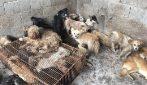 Salvano 62 cani a pochi giorni dal macello per il festival della carne di cane: immagini scioccanti