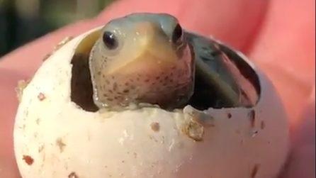 Fa capolino dal suo guscio: la piccola tartaruga è meravigliosa