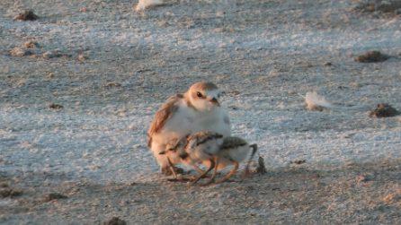 Mamma fratino e i suoi pulcini: le rare e splendide immagini catturate in Salento