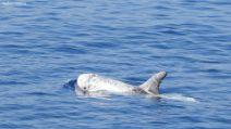 """Il mare di Genova è pieno di cetacei: grampi, stenelle e altri animali nel santuario """"Pelagos"""""""