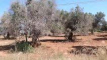 Gli ulivi malati del Salento: migliaia di alberi colpiti dal disseccamento