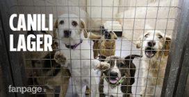 """Il business del randagismo, l'ex volontaria denuncia: """"Cani tenuti in lager per 3,5 euro al giorno"""""""