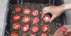 Come coltivare i pomodori in casa: il metodo davvero semplice