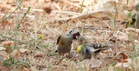 """Mamma cardellino nutre il figlio già involato dal nido, ma ancora """"bisognoso"""" delle sue cure"""