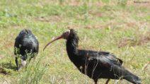 Rarissimi ibis eremita in Toscana: le immagini degli uccelli in pericolo critico di estinzione