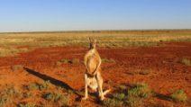 "La strage di canguri raccontata dal documentario ""Kangaroo, A Love-Hate Story"""