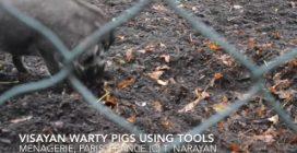 Per la prima volta documentato l'uso di strumenti nei maiali: le immagini straordinarie