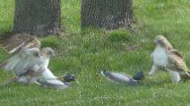Il falco è perplesso: perché l'anatra non ha paura di lui?