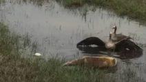 La volpe prova ad attaccare l'anatra e i suoi pulcini: il maschio è pronto a tutto per difenderli