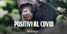 Gorilla positivi al coronavirus: infettati i primati dello zoo di San Diego