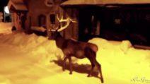 Il cervo passeggia per le vie del paese innevato: uno scenario incantevole