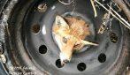 La volpe intrappolata: resta incastrata con la testa nella ruota