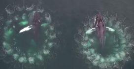 Megattere a caccia creano rete di bolle per catturare le prede: le splendide immagini