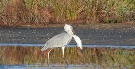 Airone cattura due pesci enormi ma non riesce a mangiarli: cormorano gliene ruba uno