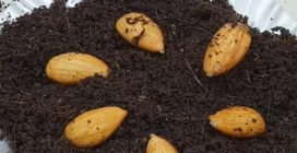 How to grow almond tree from the almond