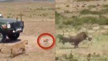 Leopardo a caccia e insegue i cuccioli di facocero: alla fine spunta la mamma che lo mette in fuga