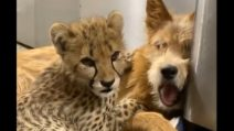 Sono un cane e un ghepardo ma sono amici inseparabili: immagini tenerissime