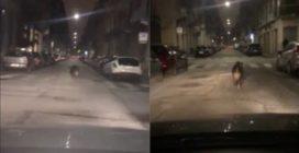 Torino, un cinghiale in giro per le strade: un cittadino riprende la scena
