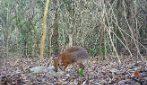 Rarissimo cervo topo filmato in Vietnam: le immagini dell'elusivo mammifero creduto estinto