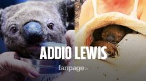 """Morto il koala Lewis, salvato da una donna dalle fiamme in Australia: """"Le ferite sono peggiorate"""""""