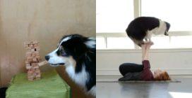 Secret, il cane che sembra un essere umano: fa il bucato e si allena con la sua padrona