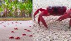 Isola di Natale, milioni di granchi rossi in migrazione: che spettacolo