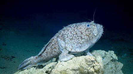 Il pesce che riesce a camminare: la scoperta è straordinaria