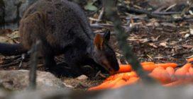 Australia, carote lanciate dall'aereo agli animali in difficoltà
