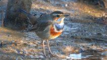 Le immagini di un bellissimo pettazzurro, un piccolo uccello che migra in Italia per svernare