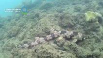Scoperte quattro nuove specie di squali che camminano